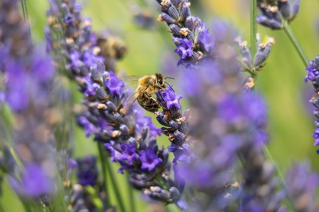 včela sedí na levanduli.jpg