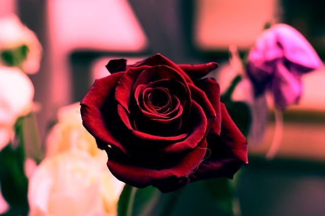 krásna ruža.jpg