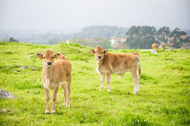 Pasúce sa kravy.jpg